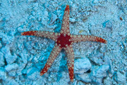 BD-150422-Maldives-7739-Fromia-monilis-(Perrier.-1869)-[Peppermint-sea-star].jpg